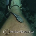 Remora trying to attach itself.