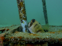Puffer poking his head out...