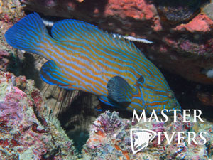 Blue Lined Grouper