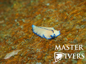 Blue Lined Flatworm