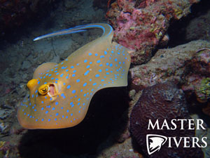 Blue Spotted Ribbontail Ray