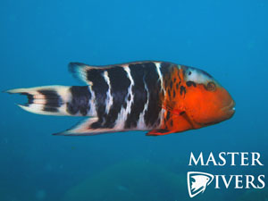 Red Breasted Wrasse