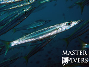 Yellowtail Barracuda