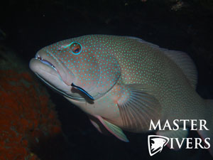 Coral Trout and Cleaner Wrasse