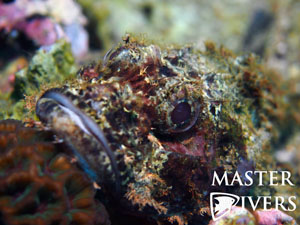 The Bearded Scorpionfish gets its name from the gills that hang below its mouth like a beard