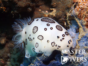 Polkadot Nudibranch