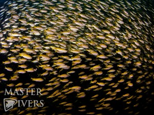 School of Snapper at Chumpon