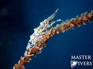 Wire Coral Crab