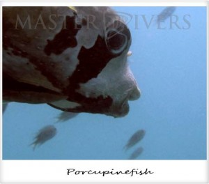 Blotched Porcupinefish