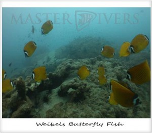 School of Weibels Butterfly Fish