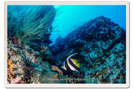 Longfin Banner Fish at Chumphon Dive site Koh Tao Thailand