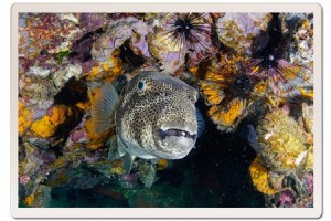 Diving in Koh Tao, PufferFish