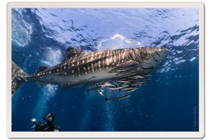 Whale Shark in the shallows with diver in Koh Tao Thailan