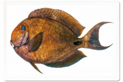 Acanthurus albimento- a new species of surgeonfish discovered in 2017