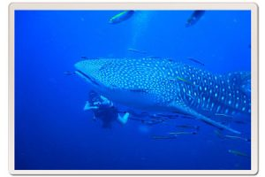 my-first-whale-shark-koh-tao