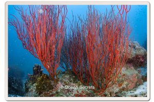 whip-corals-koh-tao