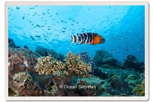 wrasse-fish-lighthouse-koh-tao
