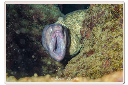 moray-eel-moth-wide-open-koh-tao