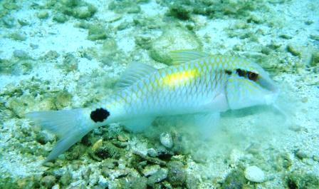 Marine life of koh tao master divers scuba diving koh tao thailand goat fish publicscrutiny Gallery