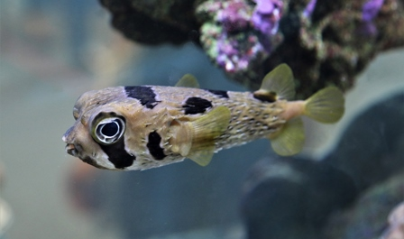 Blotched Porcupine Puffer Fish
